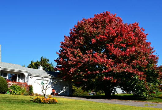 2014_09_28_Maple Tree