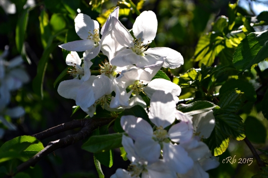Apple Blossom 2015