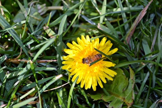 Bee and dandelion_