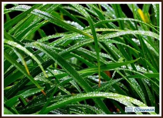 Droplets on Green Leaves 600w