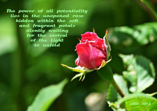 Potential Rose
