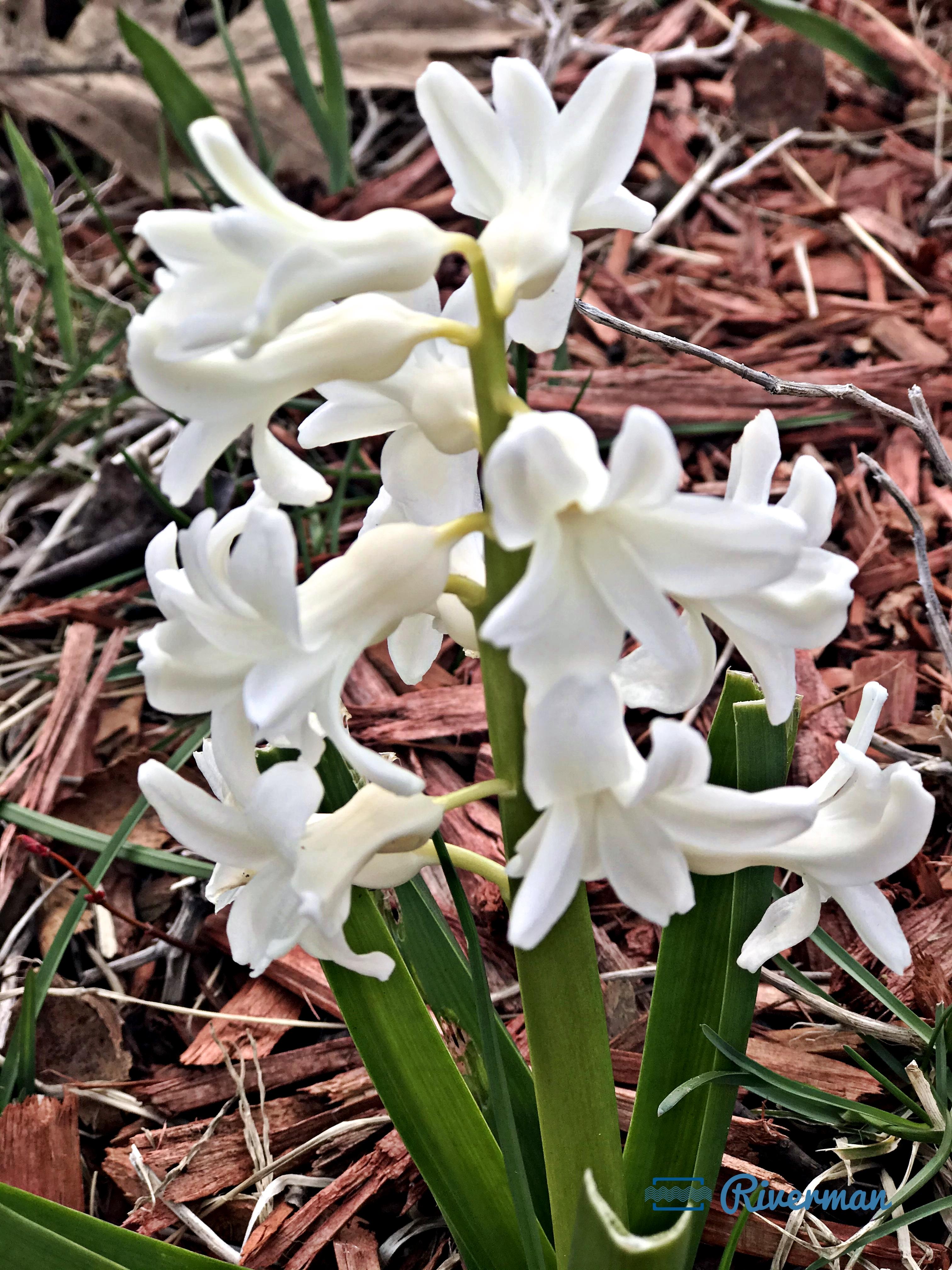 Softly White